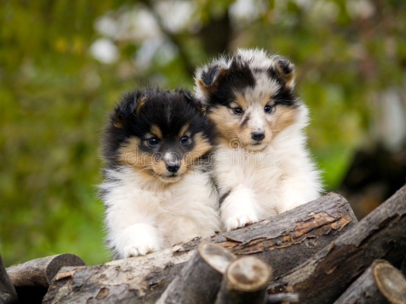 Filhotes de cachorro de Sheltie fotografia de stock