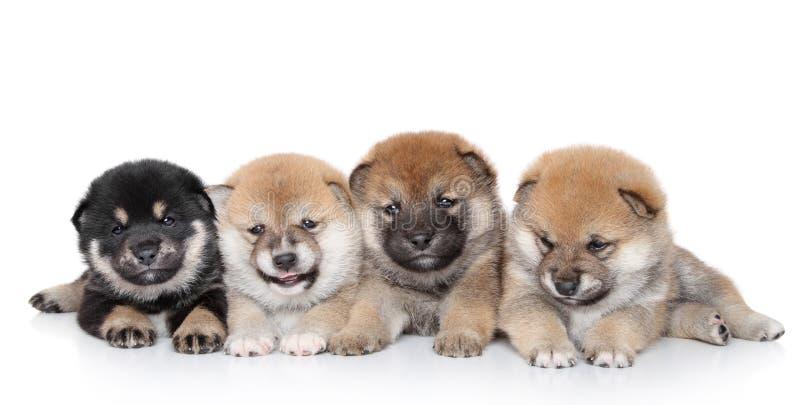 Filhotes de cachorro de Shiba Inu no fundo branco fotografia de stock