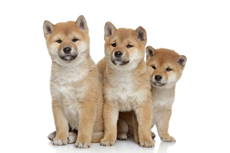 Filhotes de cachorro de Shiba-inu no fundo branco imagens de stock