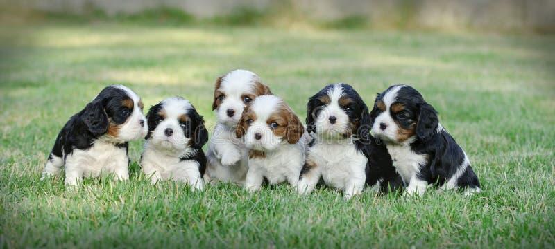 Filhotes de cachorro descuidados do Spaniel de rei Charles fotografia de stock royalty free