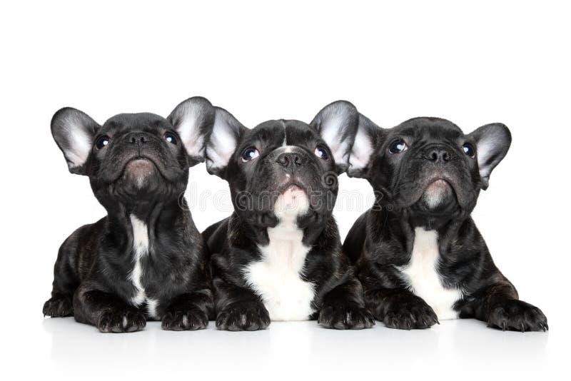Filhotes de cachorro do buldogue francês em um fundo branco imagens de stock