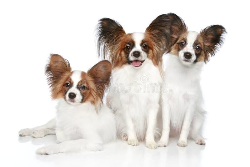 Filhotes de cachorro do cão de Papillon fotos de stock