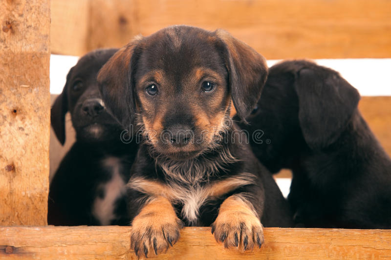 Filhotes de cachorro do Dachshund fotografia de stock royalty free