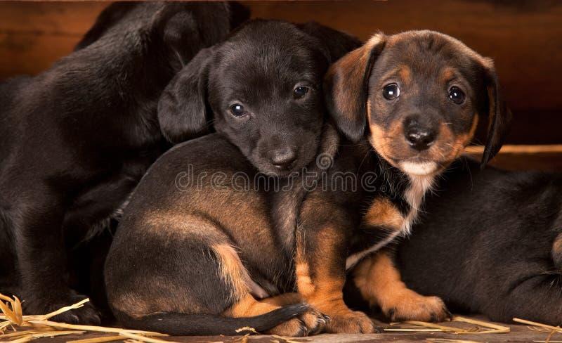 Filhotes de cachorro do Dachshund 3 semanas velhos fotografia de stock royalty free
