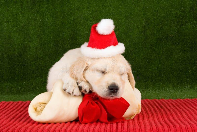 Filhotes de cachorro do Retriever dourado do sono com osso imagens de stock royalty free