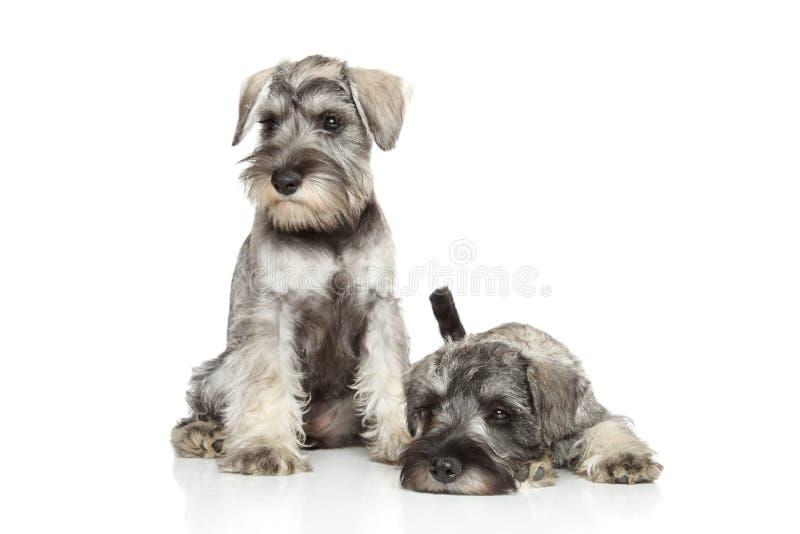 Filhotes de cachorro do schnauzer diminuto no fundo branco imagens de stock royalty free