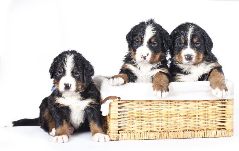 Filhotes de cachorro do sennenhund de Bernese fotos de stock royalty free