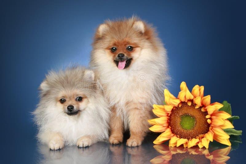 Filhotes de cachorro do Spitz (5 meses) com girassol fotos de stock