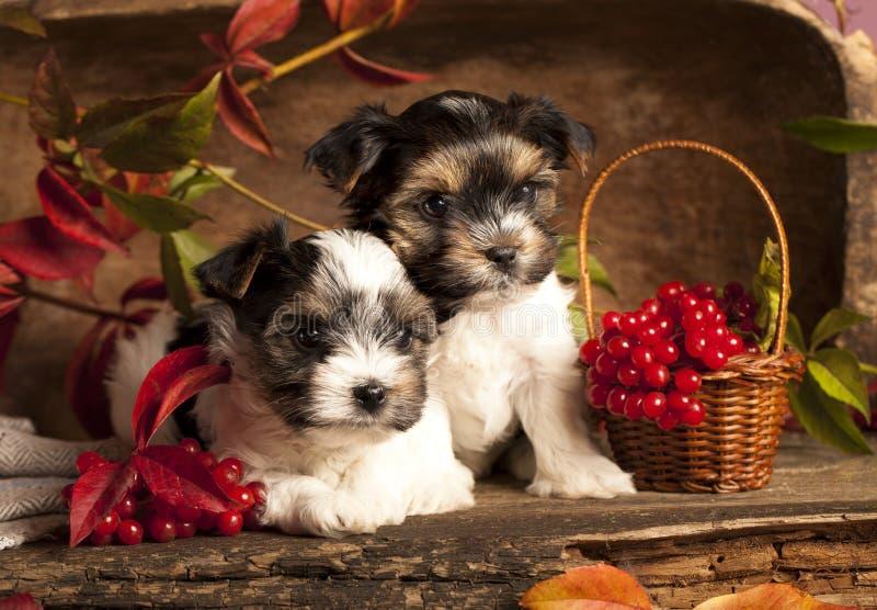 Filhotes de cachorro do terrier de Biewer fotos de stock