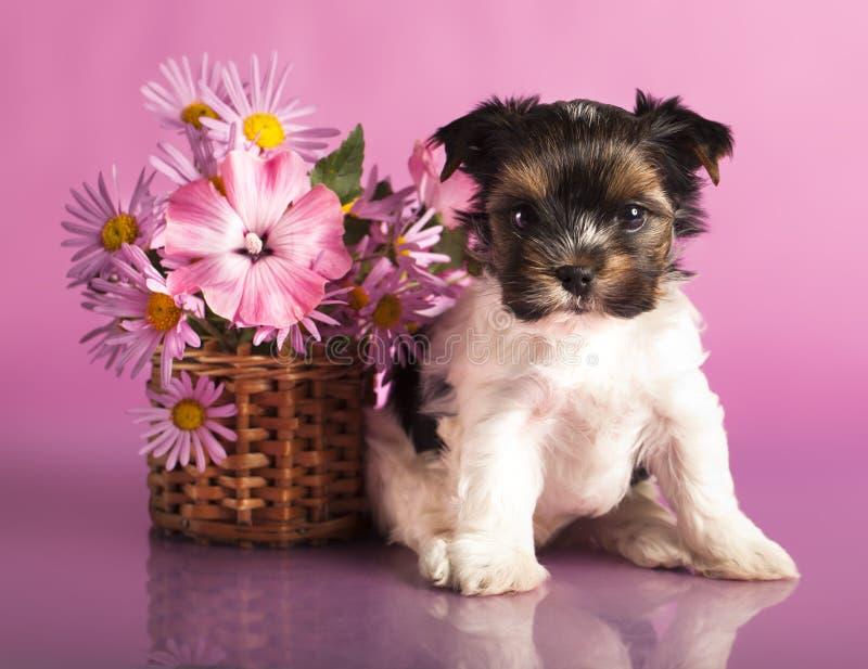 Filhotes de cachorro do terrier de Biewer fotos de stock royalty free