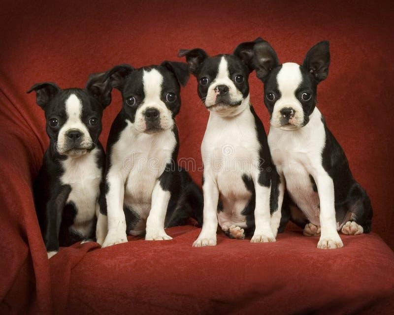 Filhotes de cachorro do terrier de Boston imagens de stock royalty free