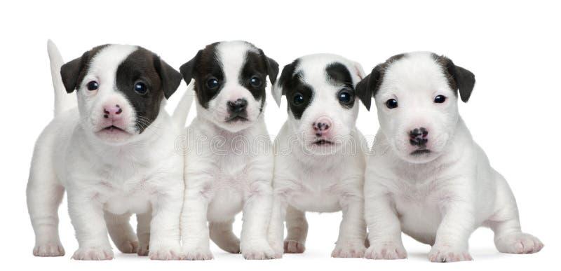 Filhotes de cachorro do terrier de Jack Russell, 5 semanas velhos foto de stock royalty free