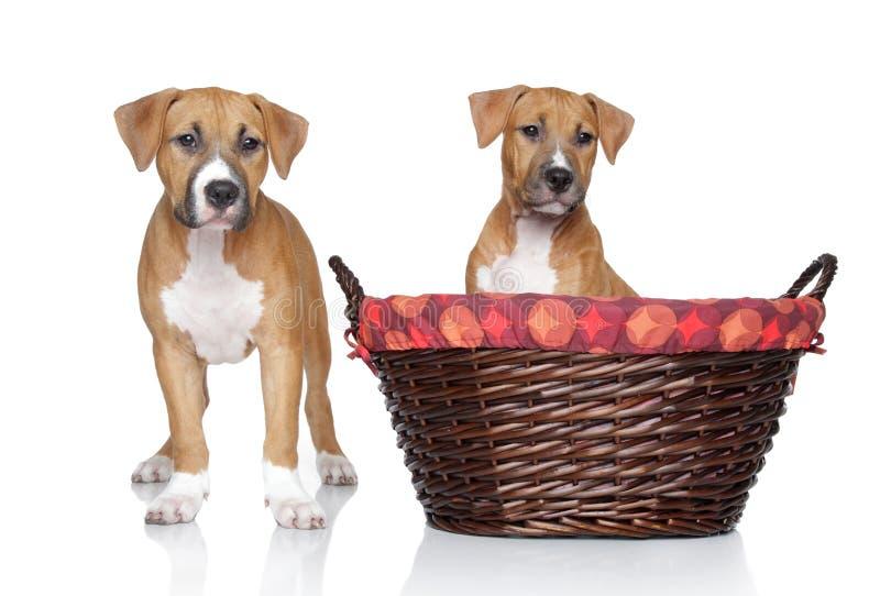 Filhotes de cachorro do terrier de Staffordshire no fundo branco imagens de stock
