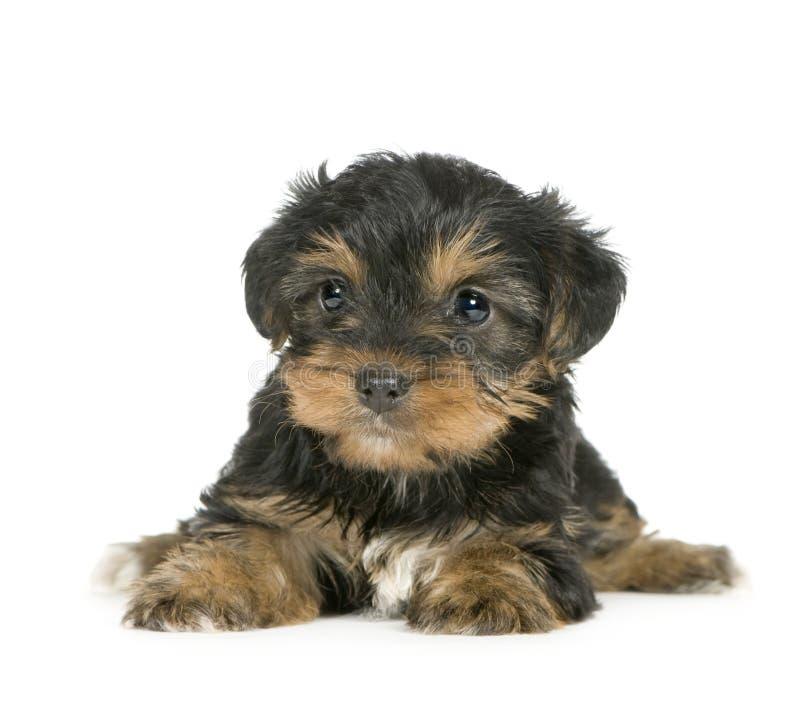 Filhotes de cachorro do terrier de Yorkshire (1 mês) foto de stock