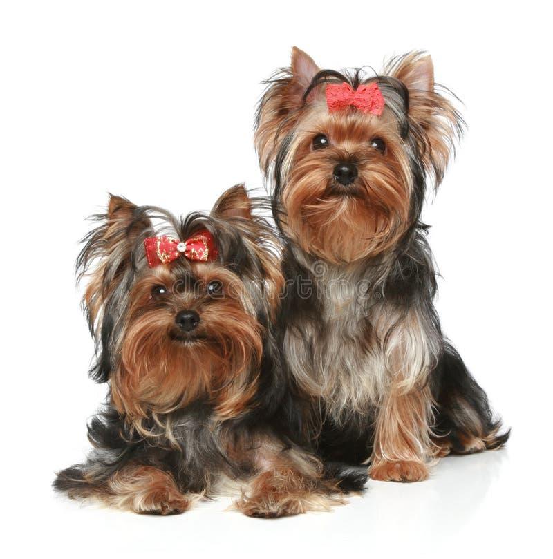 Filhotes de cachorro do terrier de Yorkshire em um fundo branco foto de stock royalty free