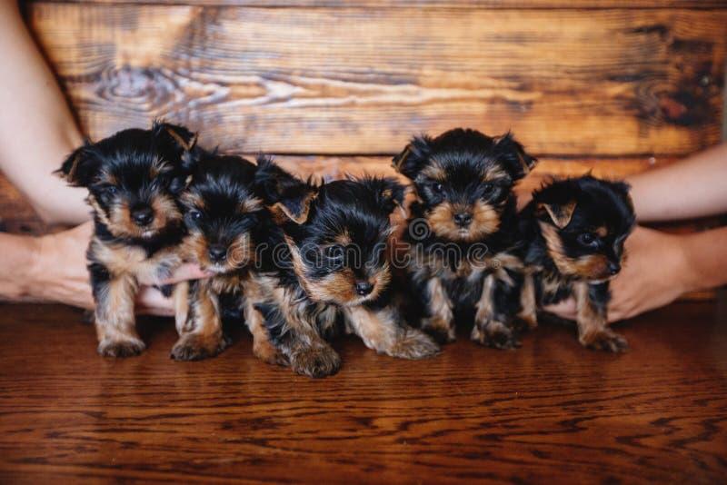 Filhotes de cachorro do yorkshire terrier fotos de stock royalty free