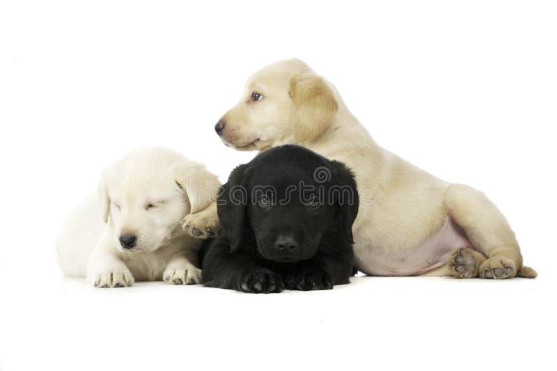 Filhotes de cachorro dourados e pretos de Labrador fotos de stock royalty free