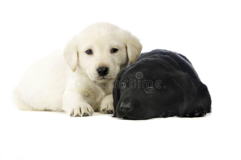 Filhotes de cachorro dourados e pretos de Labrador fotografia de stock royalty free