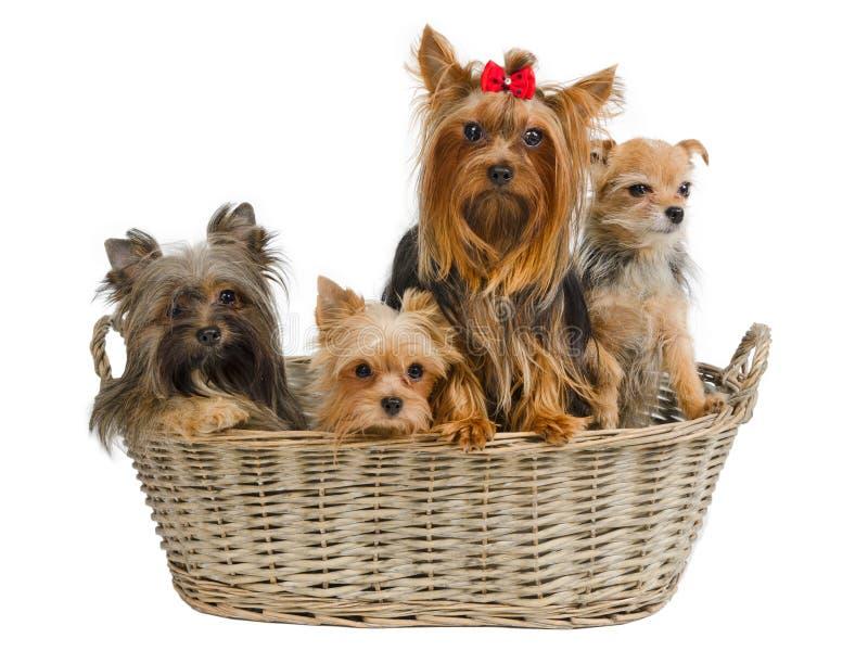 Filhotes de cachorro em uma cesta fotografia de stock royalty free