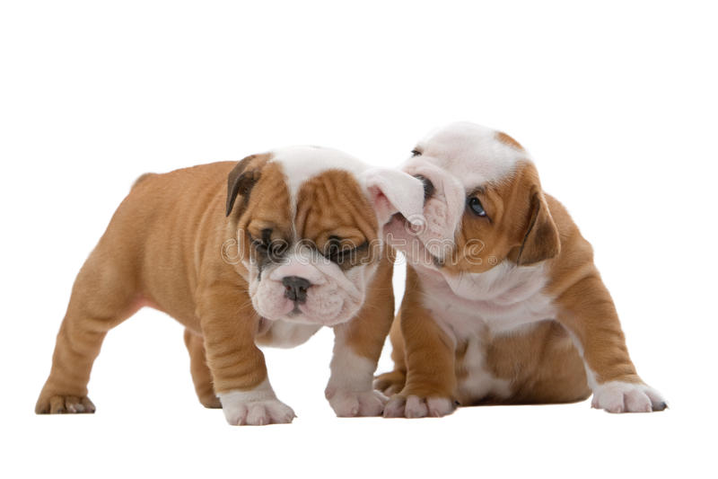 Filhotes de cachorro ingleses do buldogue fotografia de stock royalty free