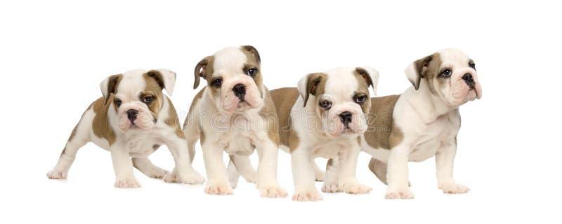 Filhotes de cachorro ingleses do buldogue fotos de stock royalty free