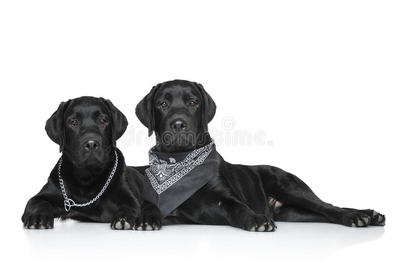 Filhotes de cachorro pretos de Labrador imagem de stock