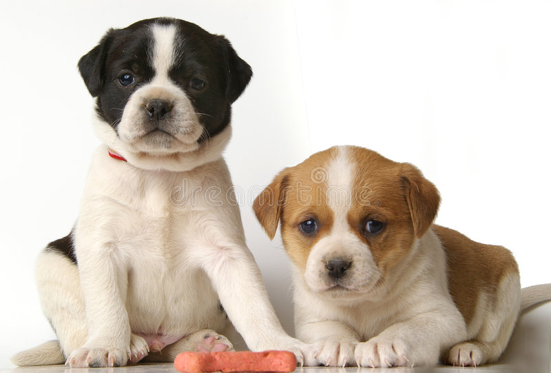 Filhotes de cachorro seriamente bonitos fotografia de stock