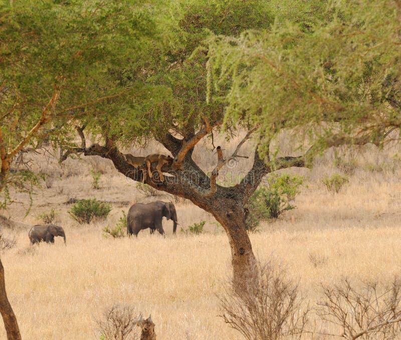 Filhotes de leão adormecidos acima em uma árvore imagem de stock