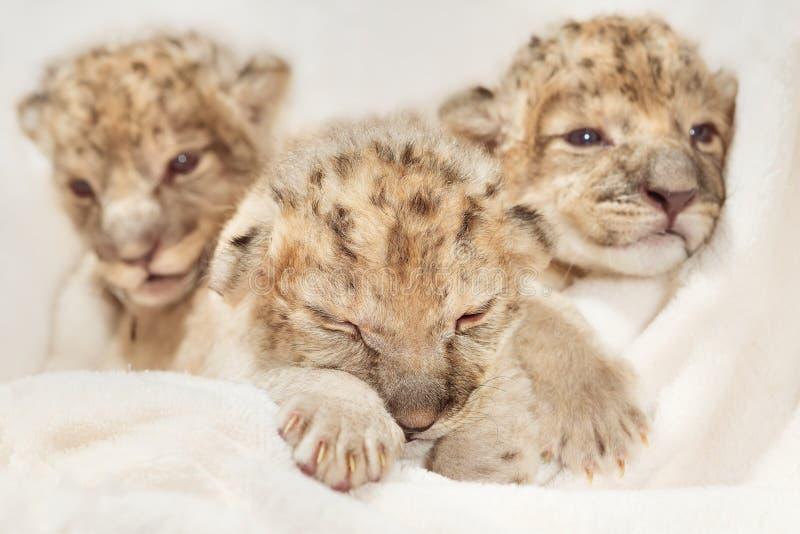 Filhotes de leões de ?ute fotografia de stock royalty free
