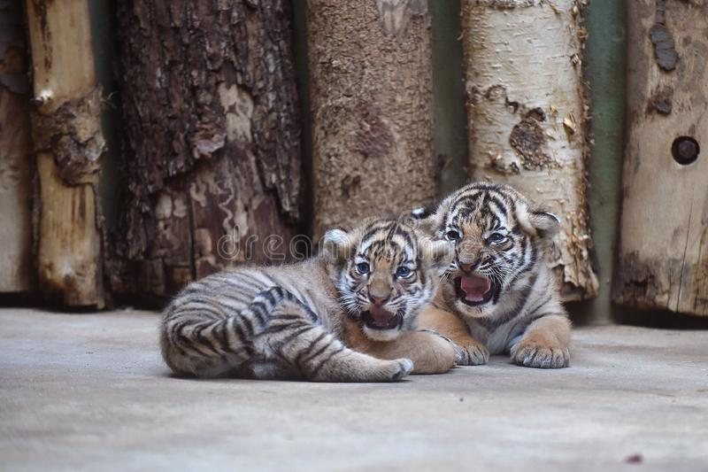 Filhotes de tigre Malayan imagens de stock