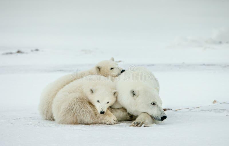 Filhotes de urso com um ela-urso Ela-urso polar com filhotes de urso Um ela-urso polar com os dois filhotes de urso pequenos Os u fotos de stock royalty free