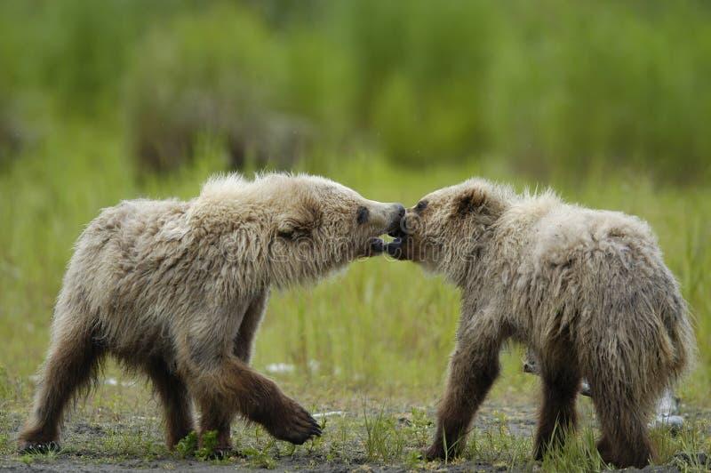 Filhotes de urso de Brown que jogam e que beijam imagens de stock