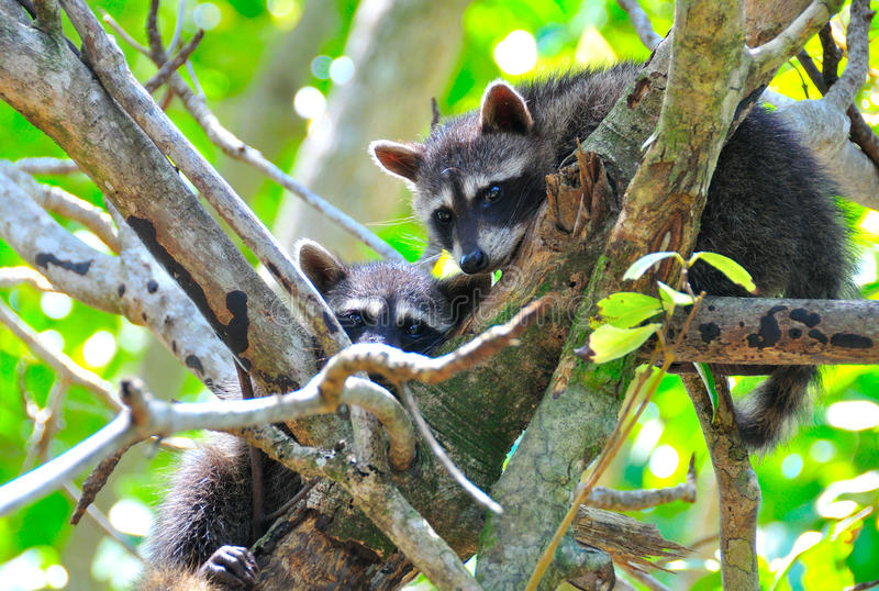 Filhotes do Raccoon na árvore fotografia de stock royalty free