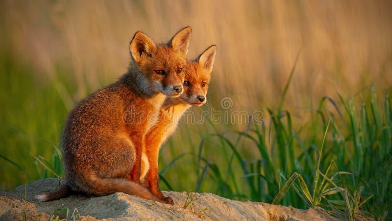 Filhotes pequenos da raposa vermelha perto do fim de assento do antro junto imagem de stock