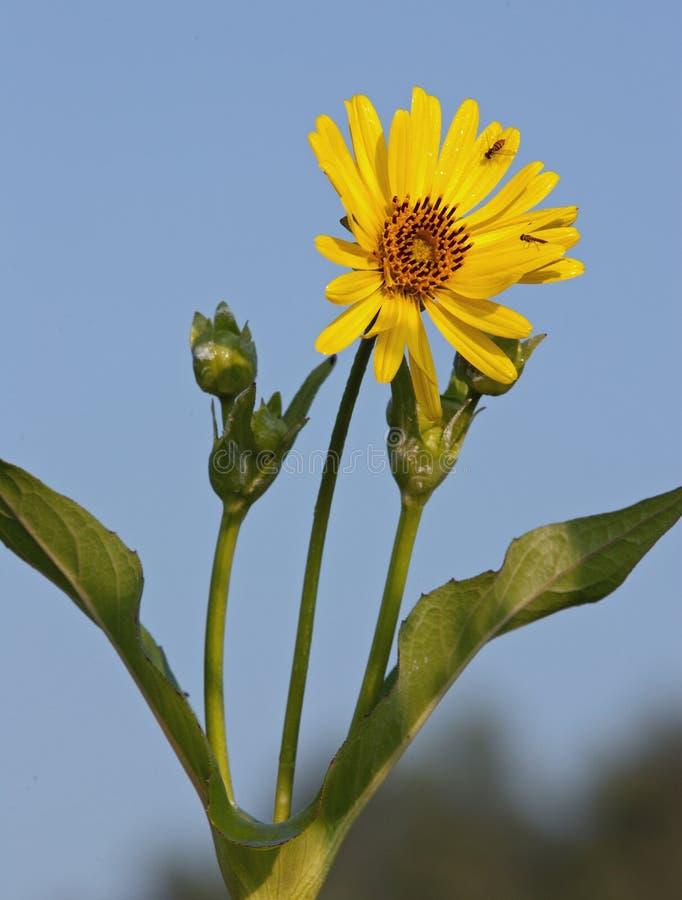 Filiżanki rośliny okwitnięcie przyciąga parę Hoverflies zdjęcia stock
