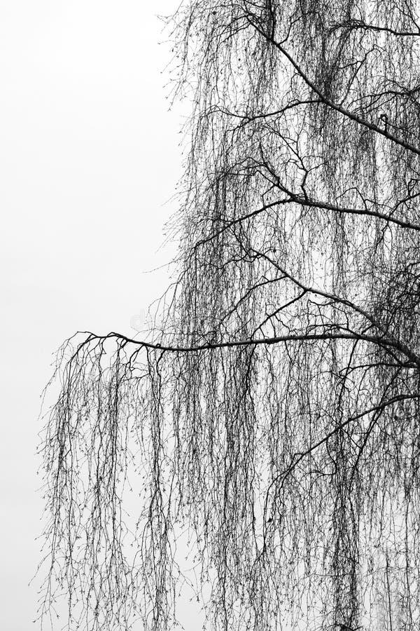 Filiais da árvore de vidoeiro fotografia de stock