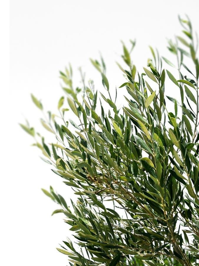 Filiais da oliveira isoladas fotos de stock