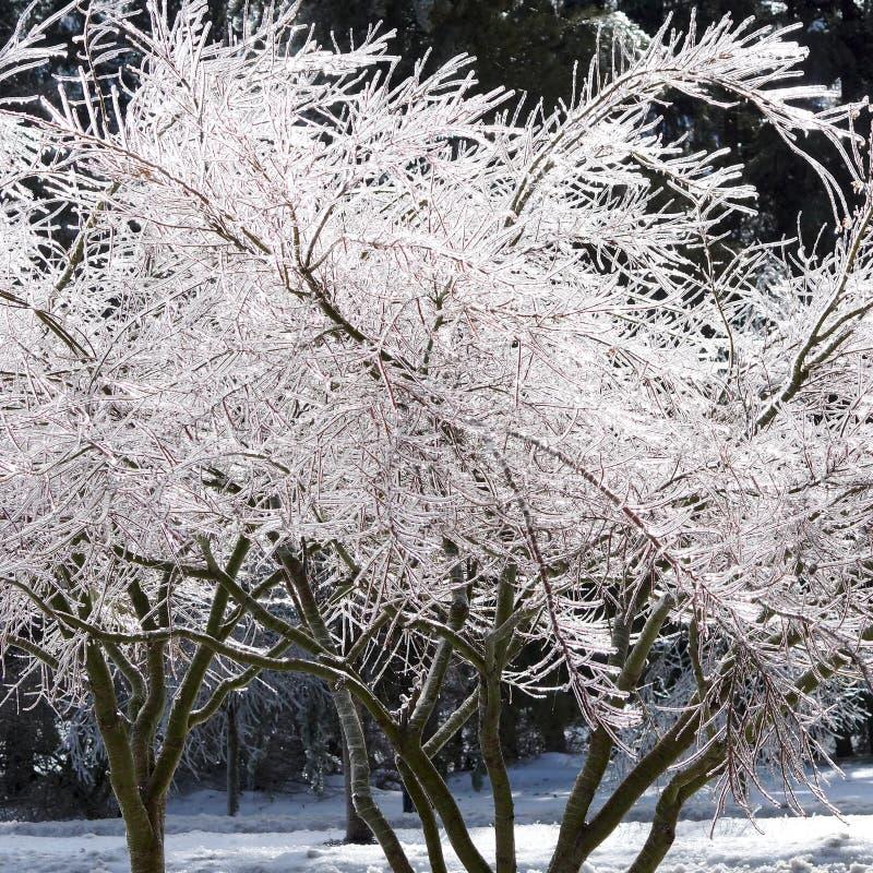 Filiais de árvore congeladas fotografia de stock royalty free