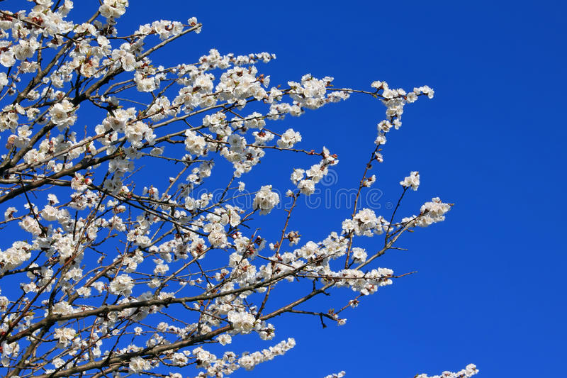 Filiais de flores do alperce fotografia de stock royalty free