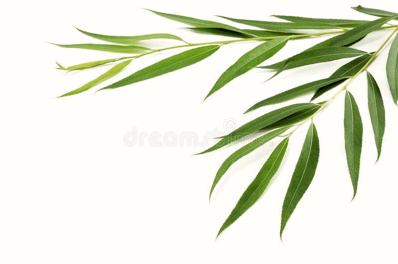 Filiais do salgueiro com folhas verdes foto de stock royalty free