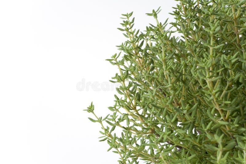 Filiais do Thymus Vulgaris foto de stock