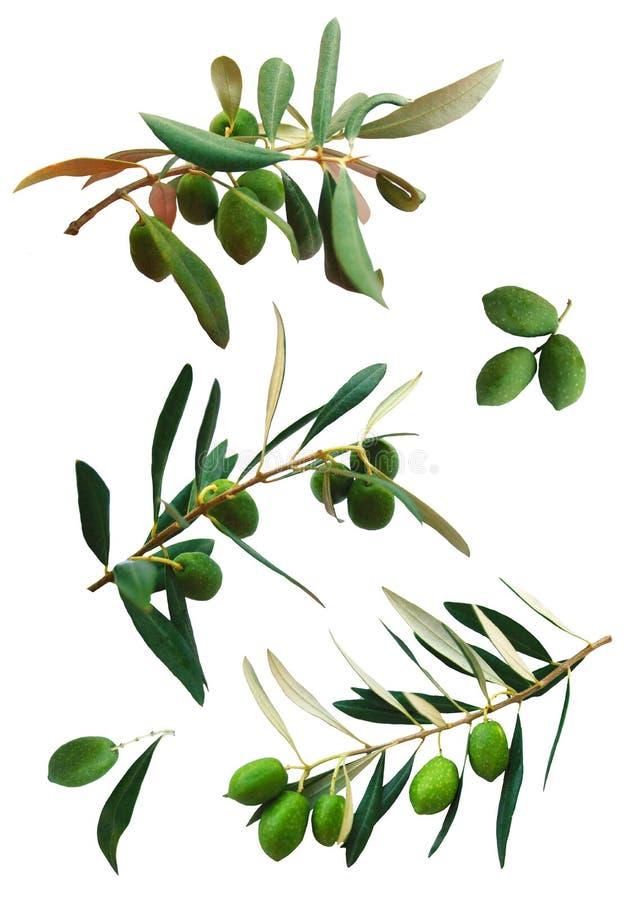 Filiais isoladas da oliveira imagens de stock