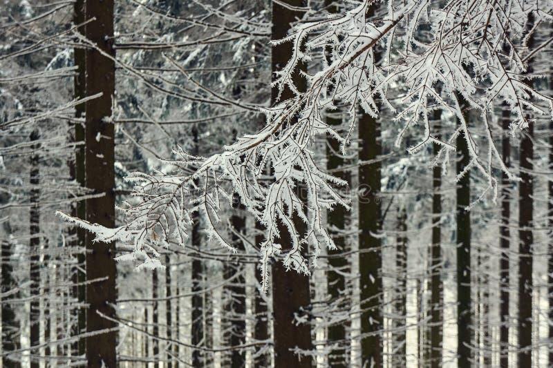 Filiais Snow-covered das árvores foto de stock