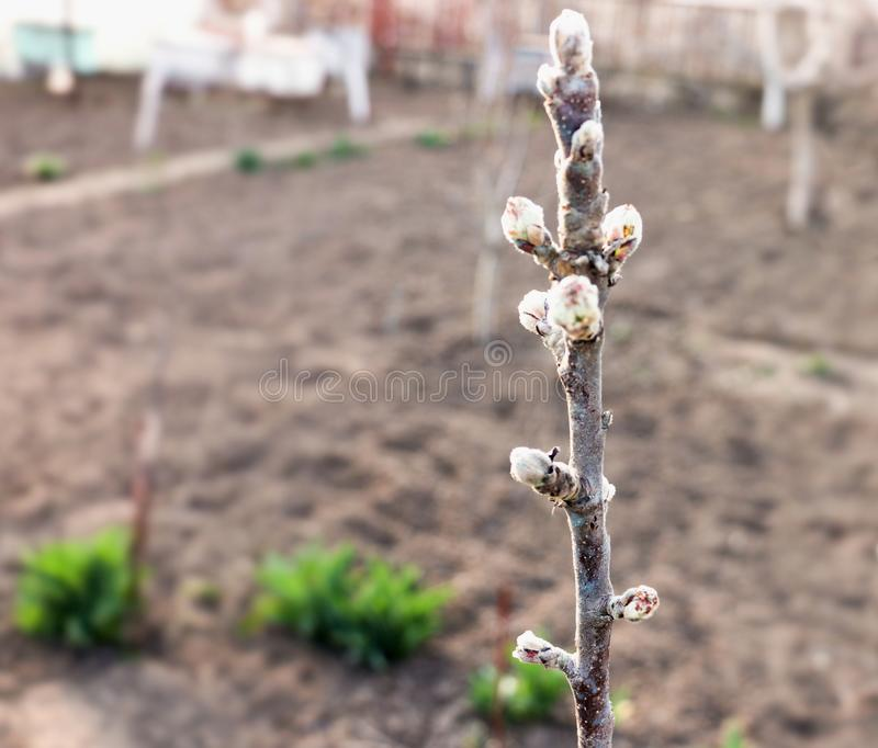 Filial av äppleträdet med knoppar royaltyfri bild