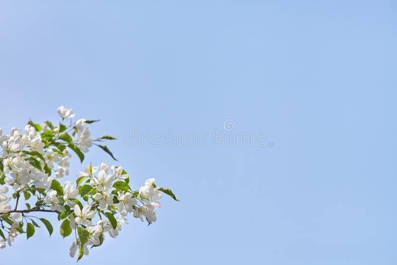 Filial av äppleträdet med vita blommor över blå himmel arkivfoton