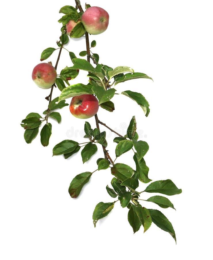 Filial av Apple med sidor och frukter som isoleras på vit bakgrund arkivfoton