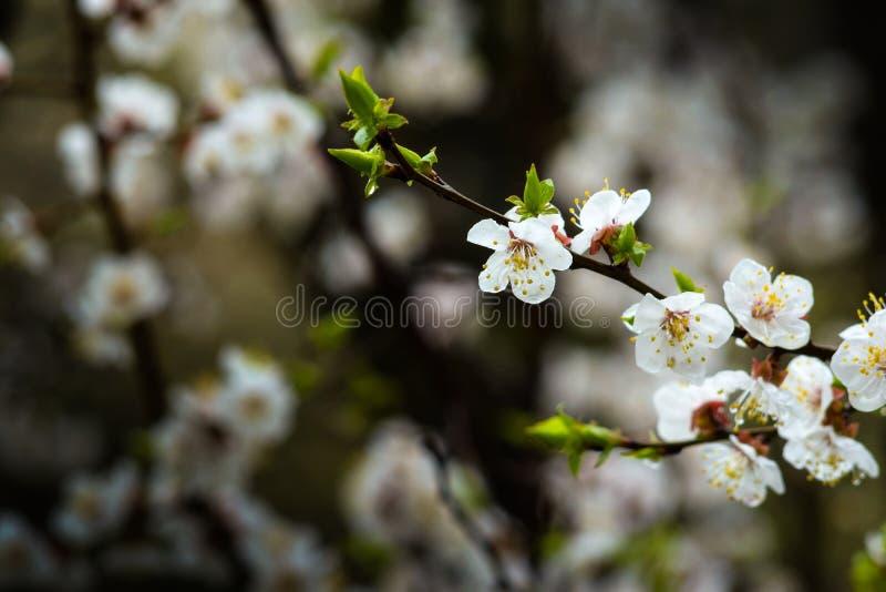 Filial av aprikosträdet med att blomma blommor arkivbilder