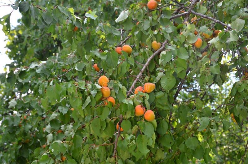 Filial av aprikosträdet med mogna frukter arkivbilder