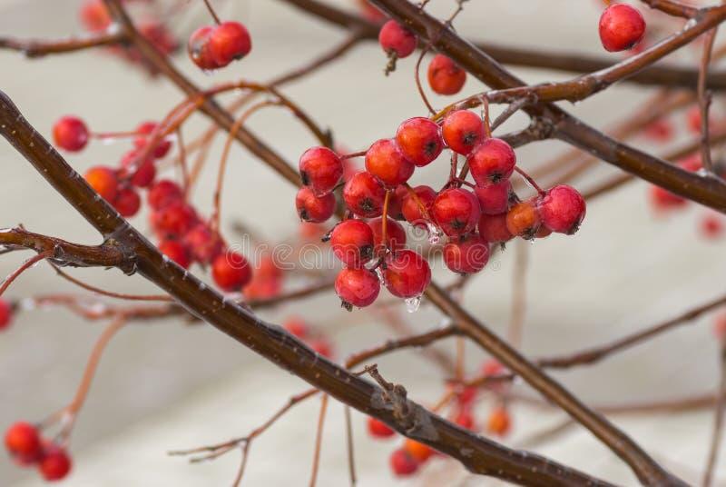 Filial av ashberry med klungan av röda och mogna bär arkivfoto