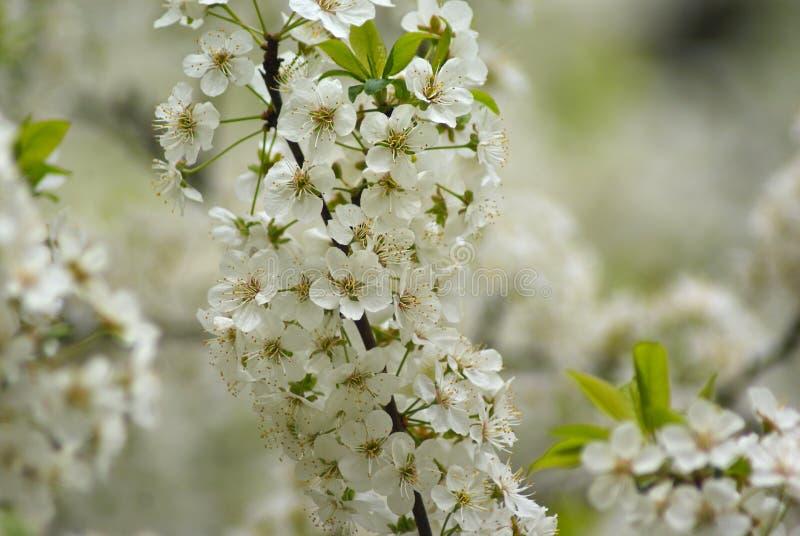 Filial av att blomma det Apple trädet royaltyfri bild